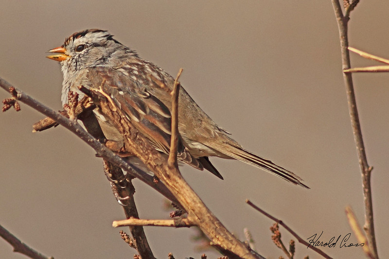 A White-crowned Sparrow taken Mar. 30, 2011 in Grand Junction, CO.