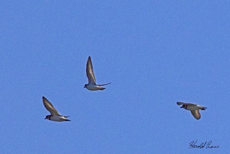 Bank Swallows taken Apr 24, 2010 near Fortuna, CA.