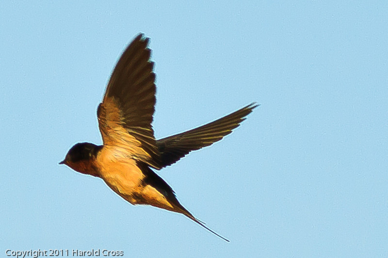 A Barn Swallow taken July 13, 2011 near Las Vegas, NM.