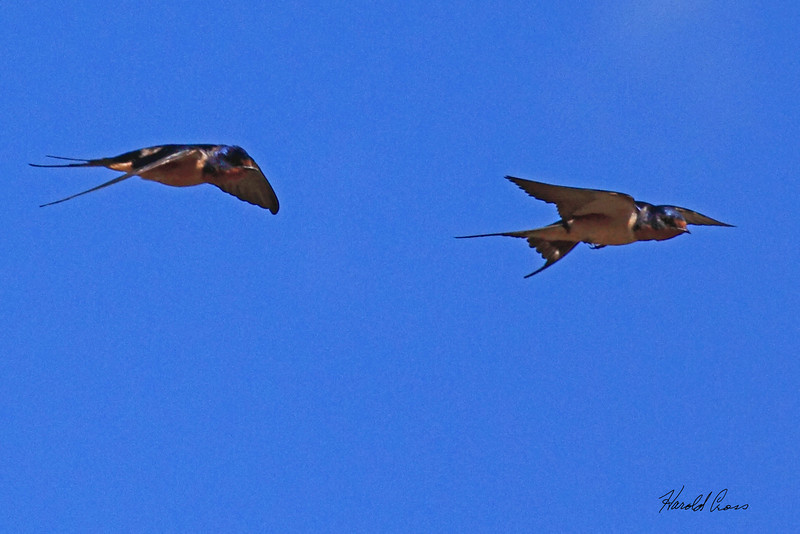 Barn Swallows taken Jul 13, 2010 near Colbran, CO.
