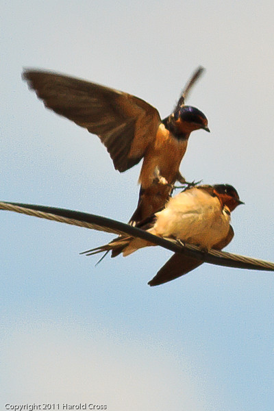 Barn Swallows taken July 17, 2011 near Kenna, NM.