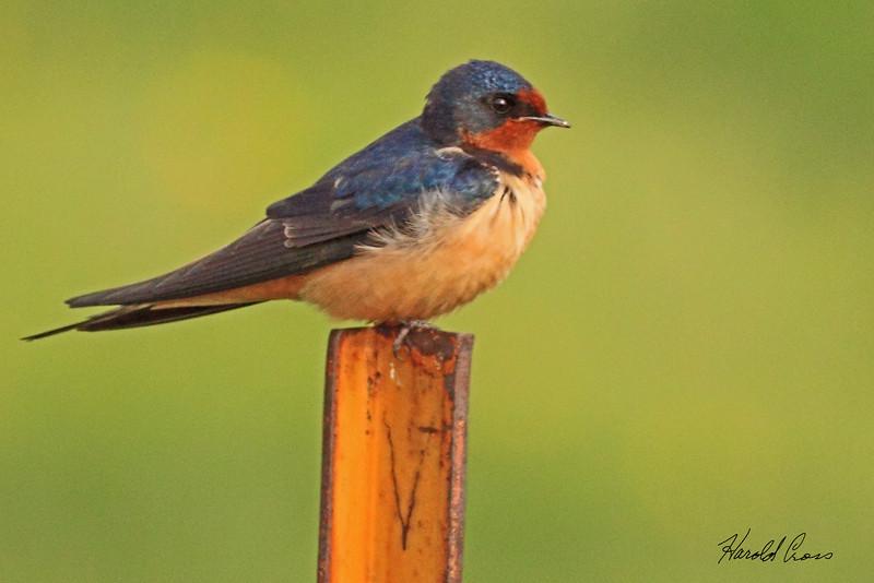 A Barn Swallow taken May 26, 2010 near Bozeman, MT.