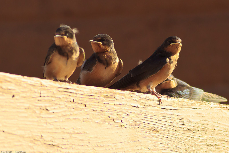 Barn Swallows taken July 13, 2011 near Las Vegas, NM.
