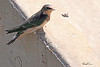 A Barn Swallow taken Jul 13, 2010 near Colbran, CO.