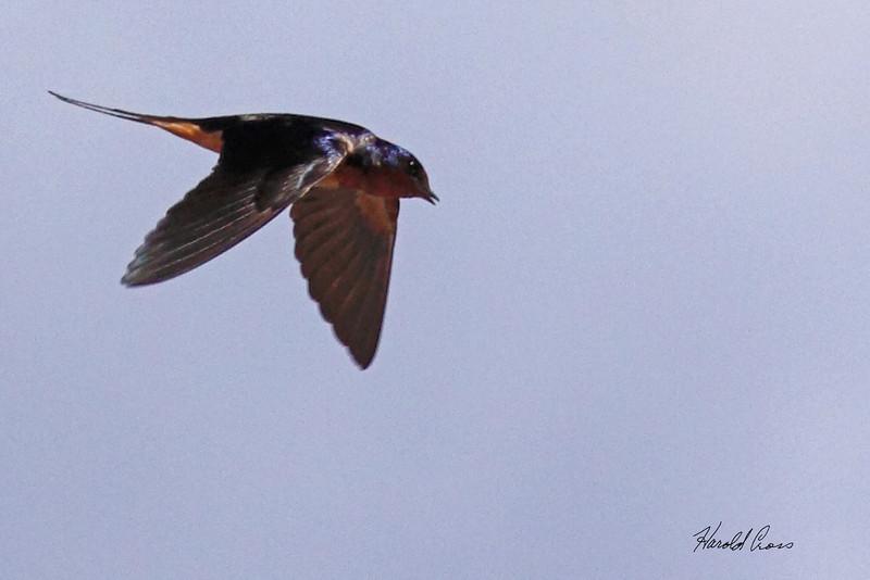 A Barn Swallow taken Jul 13, 2010 near Colbran, CO.