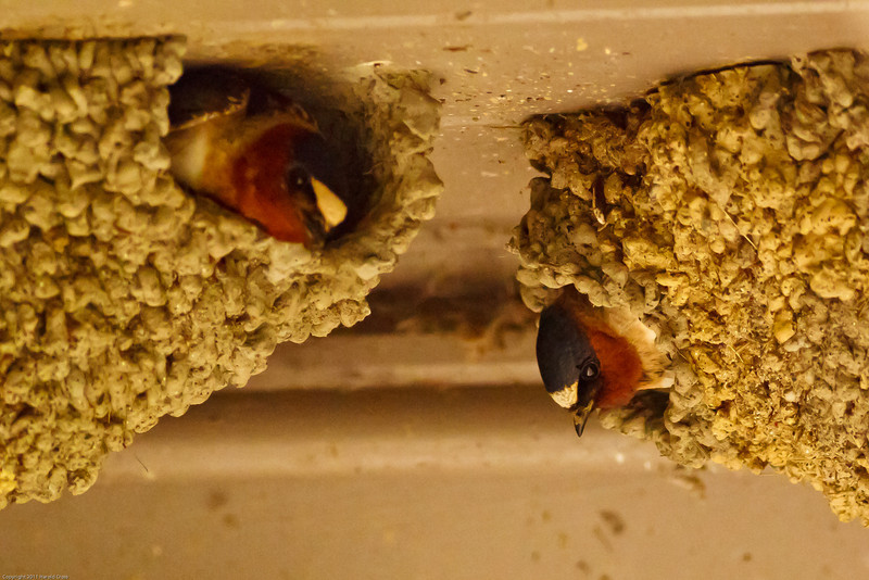 Cliff Swallows taken June 15, 2011 near Trinidad, CA.