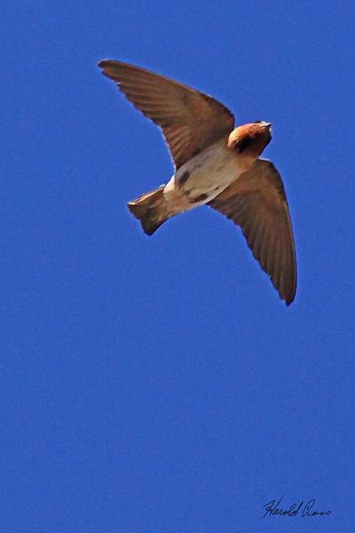 A Cliff Swallow taken July 12, 2010  near Grand Junction, CO.