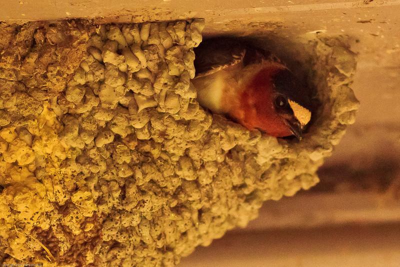 A Cliff Swallow taken June 15, 2011 near Trinidad, CA.