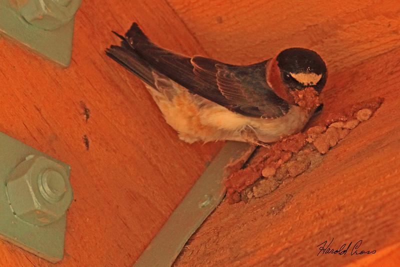 A Cliff Swallow taken June 9, 2011 near Truckee, CA.
