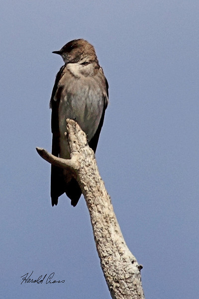 A Northern Rough-winged Swallow taken May 3, 2011 near Fruita, CO.