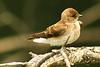 A Northern Rough-winged Swallow taken Jun 12, 2011 near Arcata, CA. Eureka, CA.