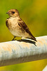 A Northern Rough-winged Swallow taken June 12, 2011 near Bridgeville, CA.