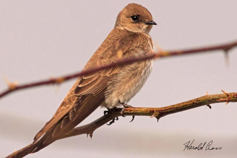 A Northern Rough-winged Swallow taken Feb 20, 2010 in Gilbert, AZ.