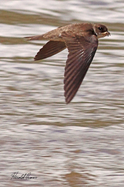 A Northern Rough-winged Swallow taken Jun 13, 2010 near Fruita, CO.
