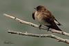 A Northern Rough-winged Swallow taken June 14, 2011 near Bridgeville, CA.