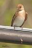 A Northern Rough-winged Swallow taken April 18, 2010 near Bridgeville, CA.