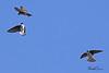 Tree Swallows taken April 17, 2010 near Arcata,CA.
