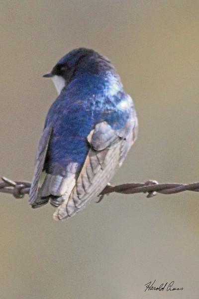A Tree Swallow taken May 25, 2010 near Bozeman, MT.