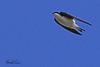A Tree Swallow taken April 17, 2010 near Fortuna, CA.