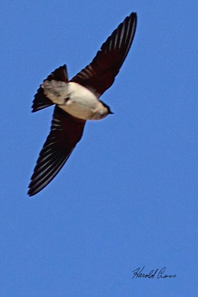 A Tree Swallow taken May 13, 2011 near Denver, CO.