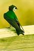 A Violet-green Swallow taken June 12, 2012 near Price, UT.