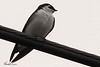 A Violet-green Swallow taken Apr 25, 2010  near Fortuna, CA.