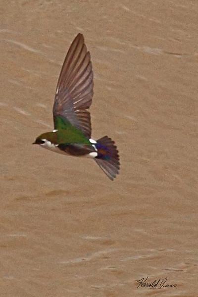 A Violet-green Swallow taken May 18, 2010 near Fruita, CO.