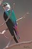 A Violet-green Swallow taken Jun 28, 2010 near Fruita, CO.