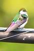 A Violet-green Swallow taken June 17, 2011 near Bridgeville, CA.