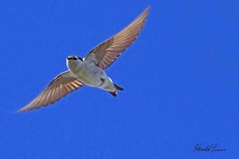 A Violet-green Swallow taken July 2, 2010 near Cimmaron, CO.