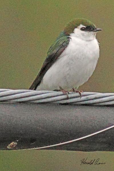 A Violet-green Swallow taken Apr 25, 2010  near Bridgeville, CA.