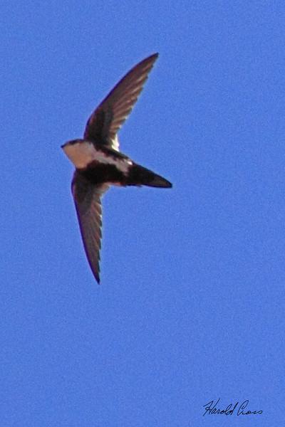 A White-throated Swift taken Apr 6, 2010 in Fruita, CO.