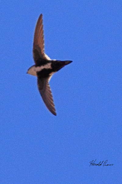 A White-throated Swift taken Apr 6, 2010 in Fruita, CO.