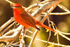 A Hepatic Tanager taken Feb. 27, 2012 in Madera Canyon, AZ.