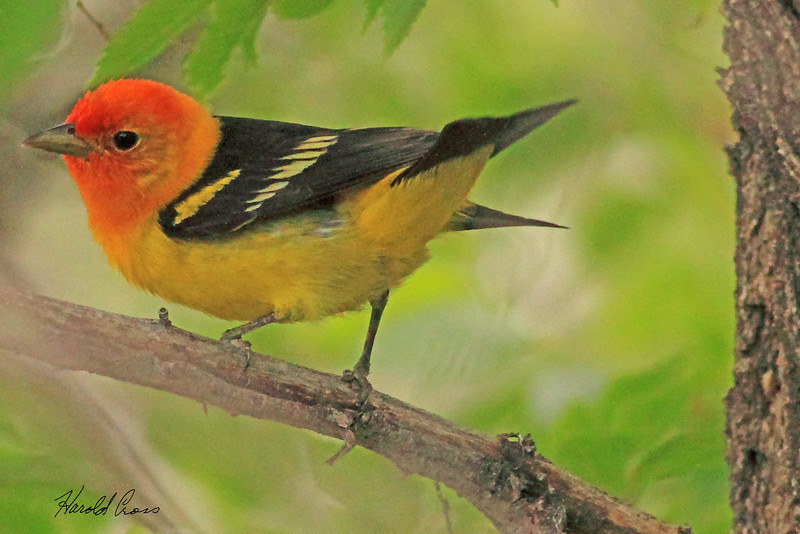 A Western Tanager taken May 31, 2010 in  Ogden, UT.