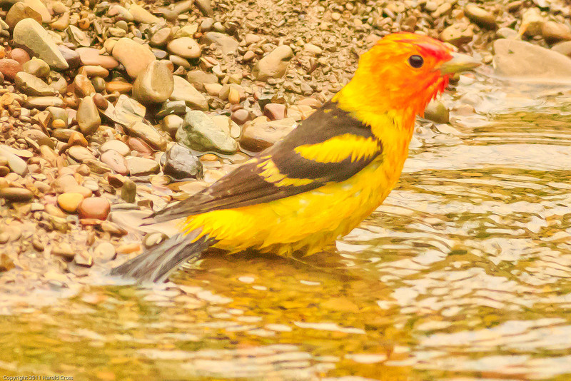 A Western Tanager taken June 10, 2011 near Bridgeville, CA.
