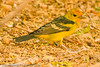 A Western Tanager taken Nov. 3, 2011 near Tucson, AZ.