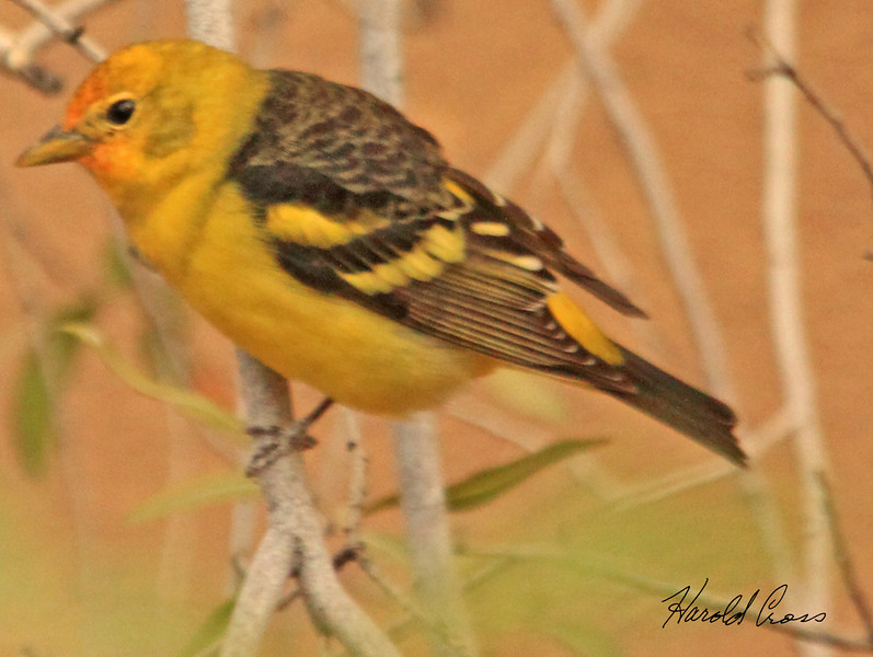 A Western Tanager taken Feb 7, 2010 in Tuscon, AZ.
