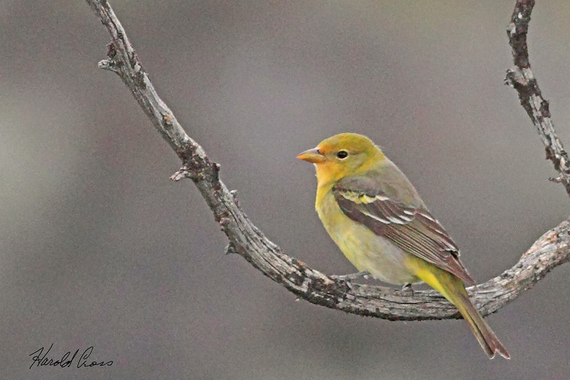 A Western Tanager taken May 31, 2010 near Pocatello, ID.