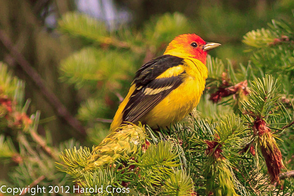 A Western Tanager taken Jun. 20, 2012 in Bridgeville, CA.