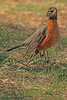 An American Robin taken April 16, 2011 in Grand Junction, CO.