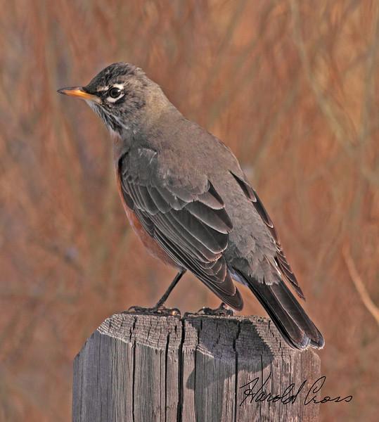 An American Robin taken in Grand Junction, CO on 15 Jan 2010.