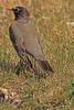 An American Robin taken April 11, 2011 in Grand Junction, CO.