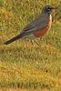 An American Robin taken Sep 21, 2010 near Pocatella, ID.