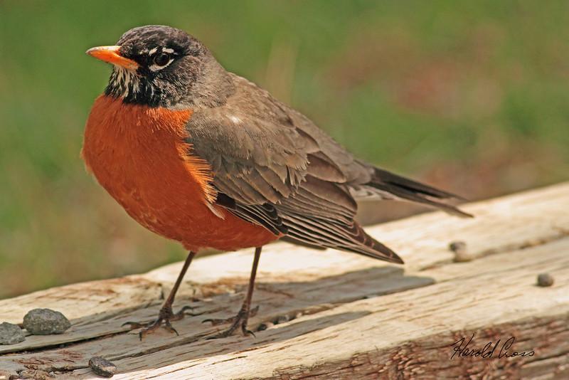 An American Robin taken April 27, 2011 near Fruita, CO.
