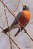 An American Robin taken Mar 26, 2010 in Grand Junction, CO.
