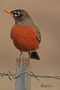 An American Robin taken April 12, 2011 near Fruita, CO.