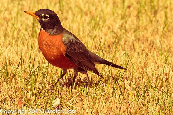 An American Robin taken Apr. 7, 2012 in Fruita, CO.