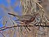 An American Robin taken in Grand Junction, CO in Dec 2009.