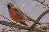 An American Robin taken Apr. 4, 2011 in Grand Junction, CO.